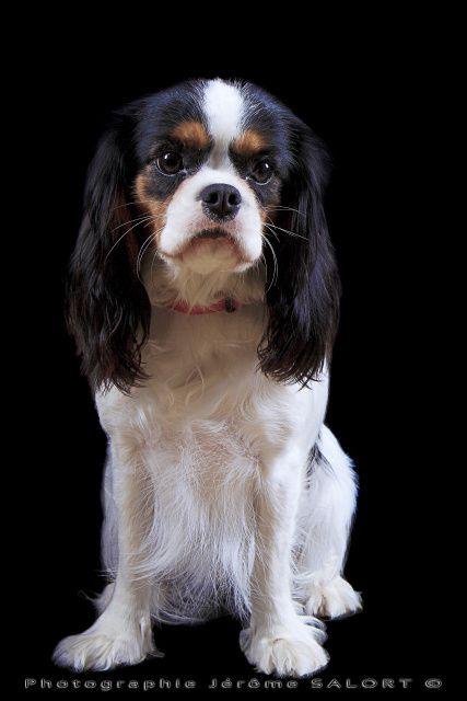 Portrait studio de votre animal de compagnie.. Ici quelques Cavaliers King Charles & Co.