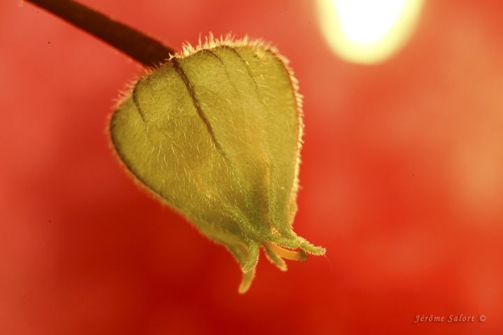 Amour en cage (Physalis)