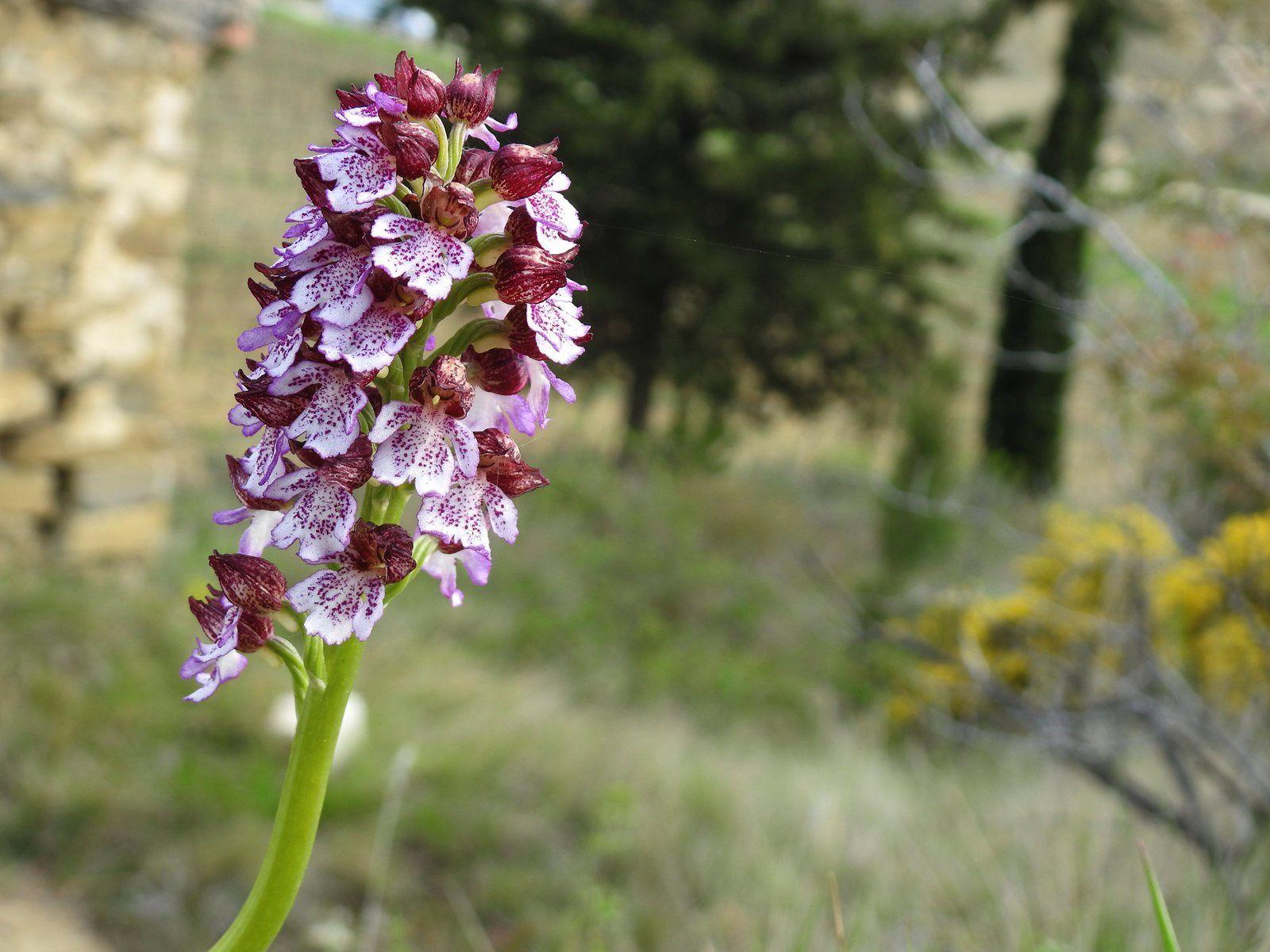 Les orchidées sauvages de Malras en ce moment
