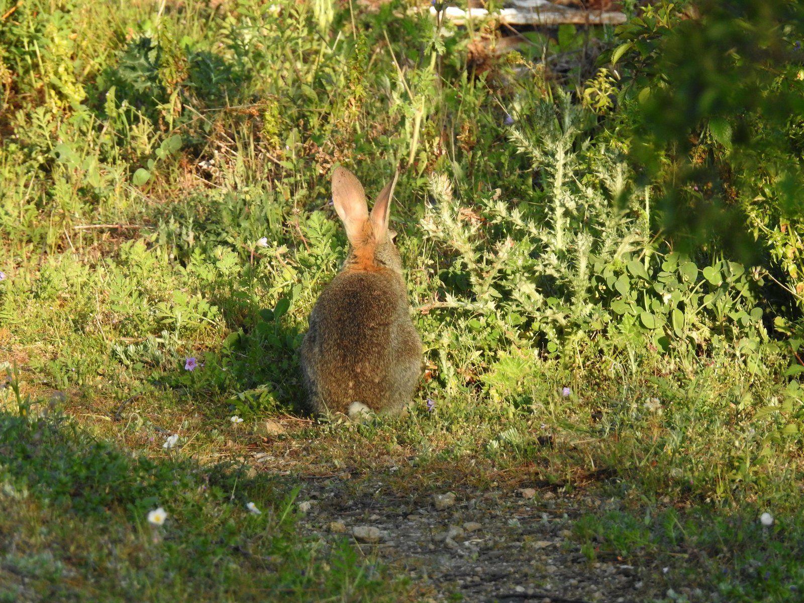 Les lapins de garenne de la garrigue de Malras