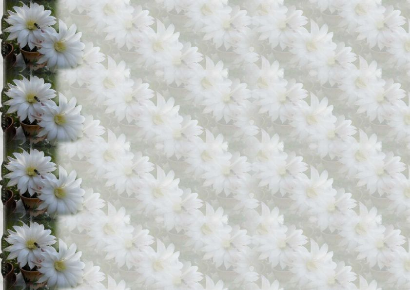 Cactée echinopsis hybride blanche Incredimail &amp&#x3B; Papier A4 h l &amp&#x3B; outlook &amp&#x3B; enveloppe &amp&#x3B; 2 cartes A5 &amp&#x3B; signets 3 langues     cact_echinopsis_hybride_blanc_dscn2931_00