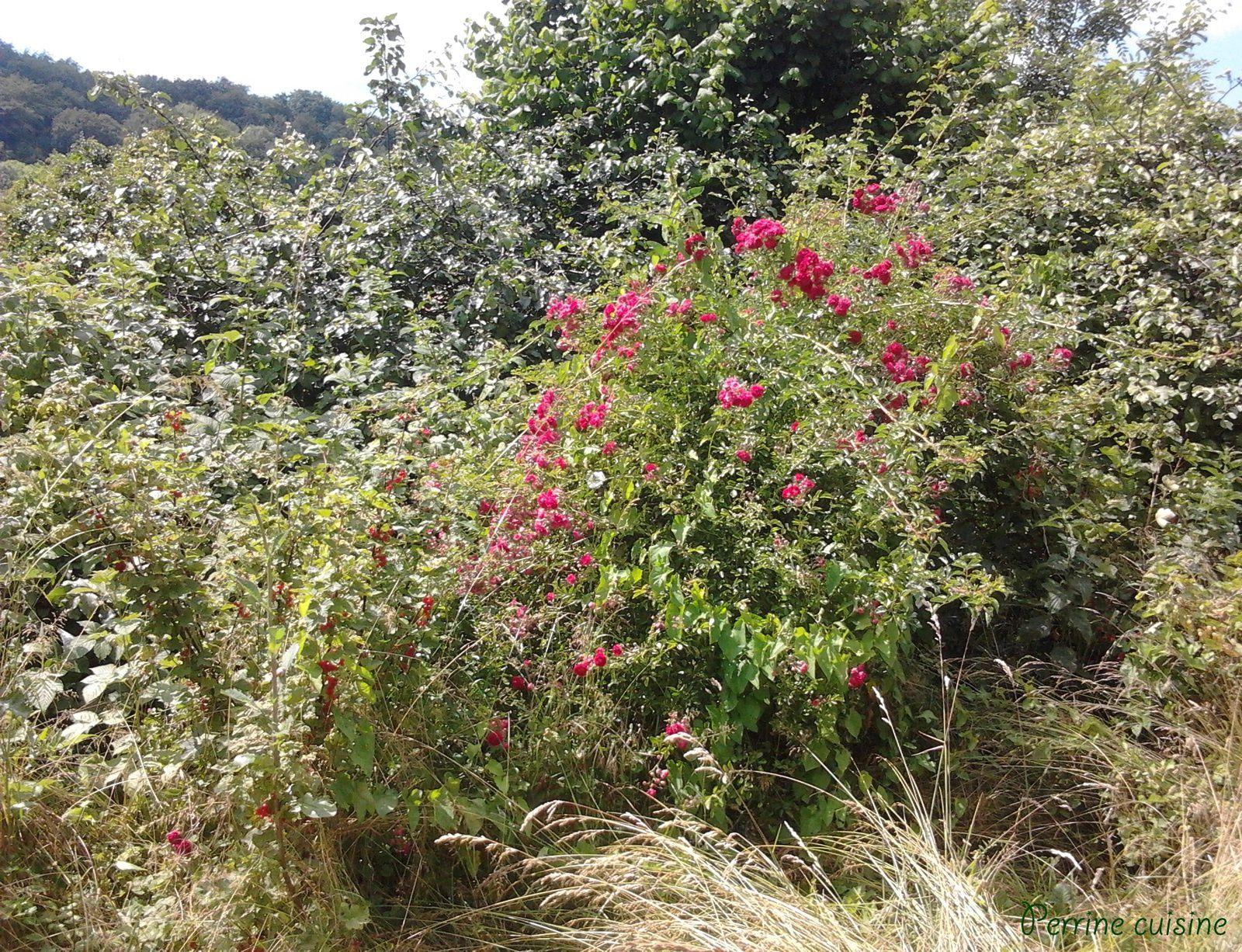 Dans le grand jardin de la maison familiale, les groseilliers se mélangent aux rosiers et aux framboisiers, une flore qu'il est bien temps de domestiquer! En attendant, on profite bien de tous les fruits...