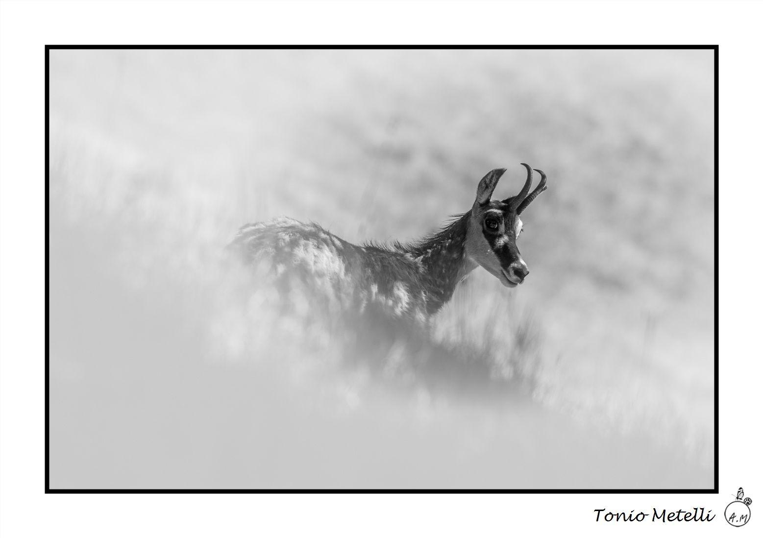Mammifères photographiés aux Houches (Chamonix, Haute-Savoie 74), sur le parc d'observation du Merlet à 1500m d'altitude.
