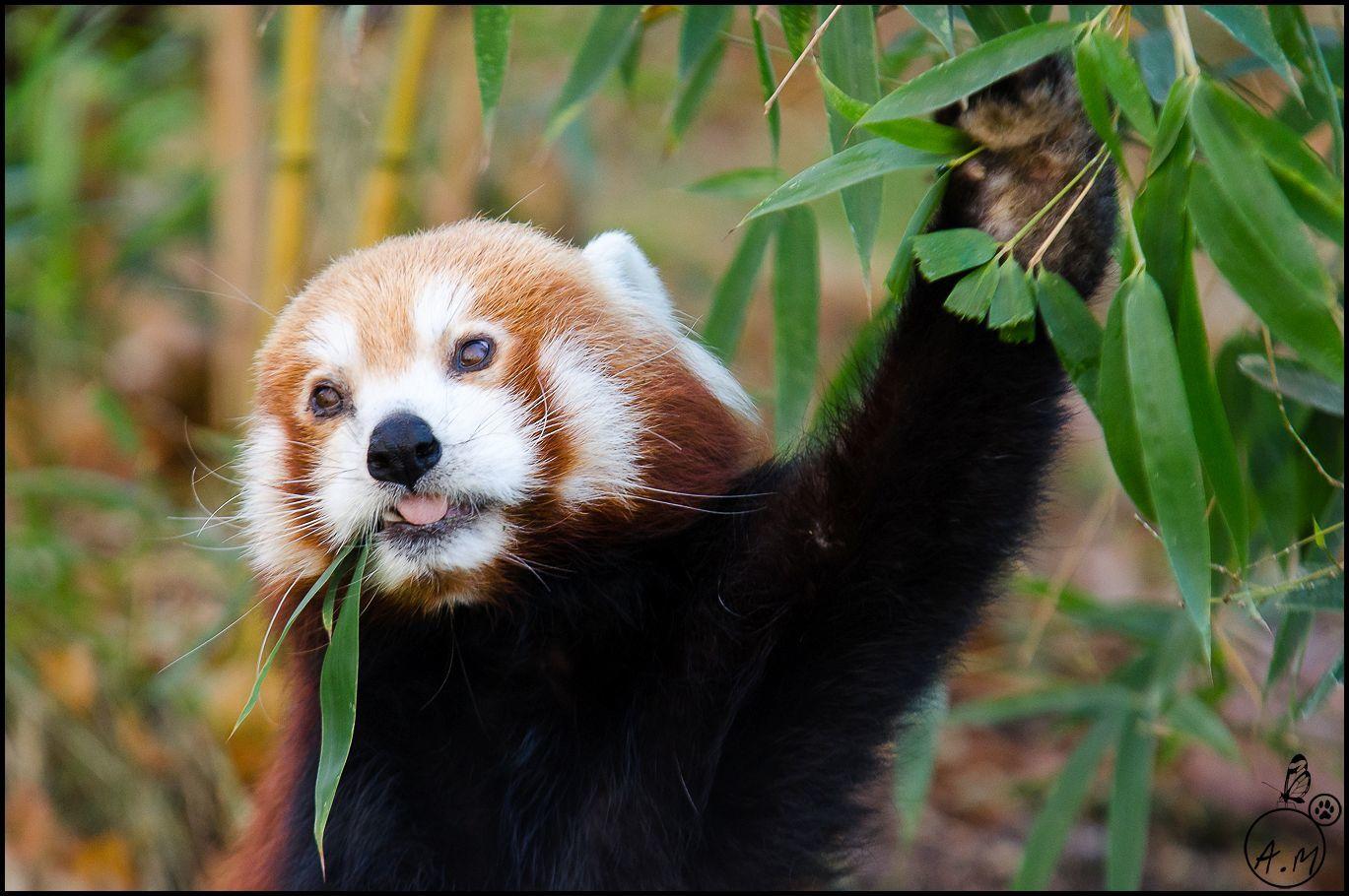 Petit panda roux au restaurant !