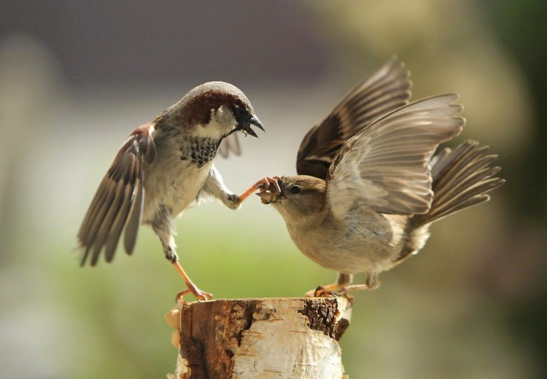 Oiseau mâle cloue son bec à sa femelle