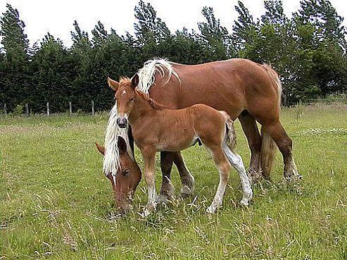 Journée des chevaux de trait de la vallée de l'Adour.