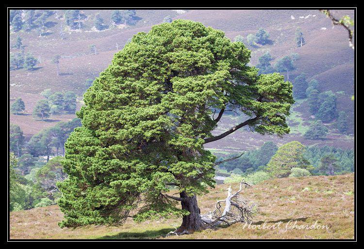 Majestueux pins calédoniens (relique de la forêt qui existait en Ecosse)