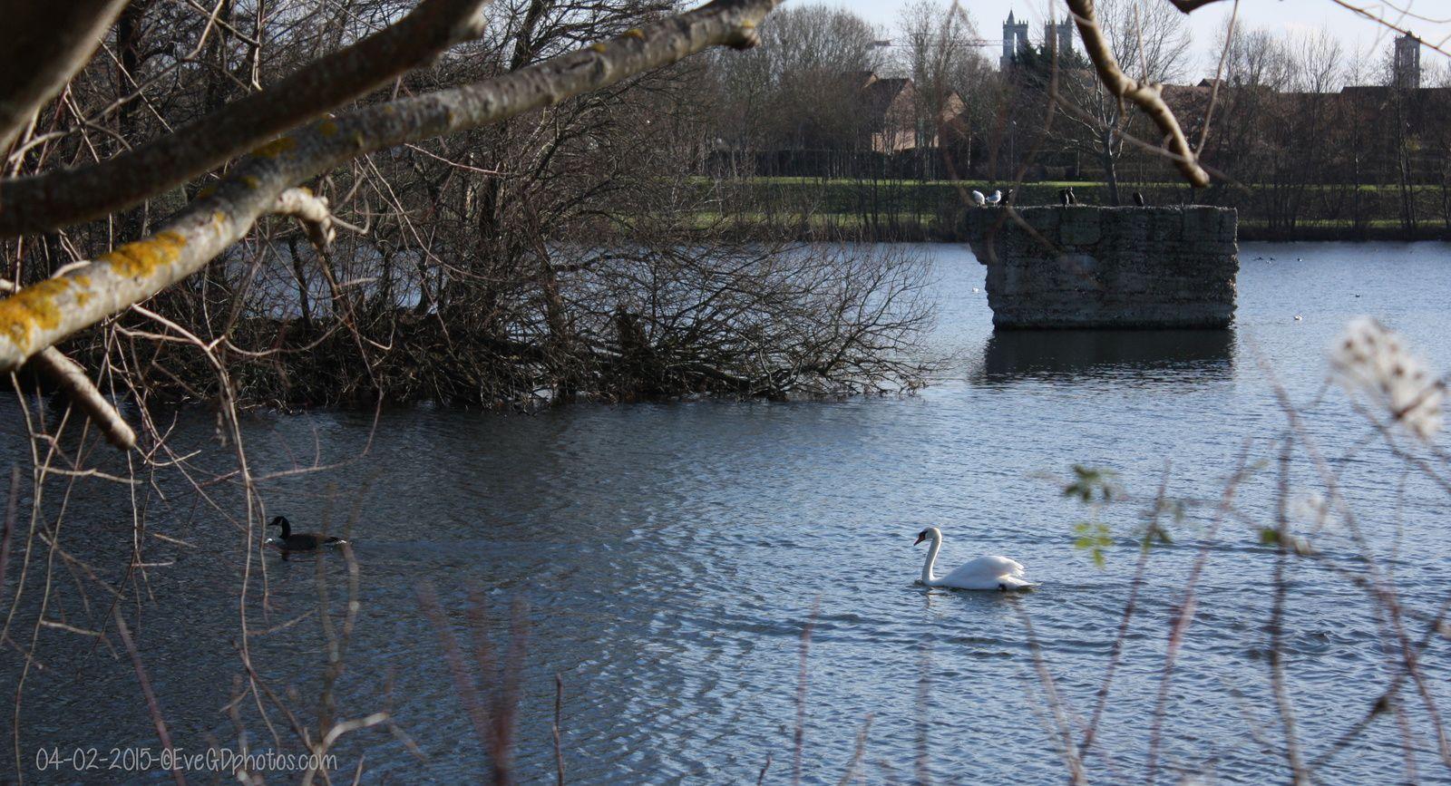 Au Lac de Gassicourt... Les oiseaux..