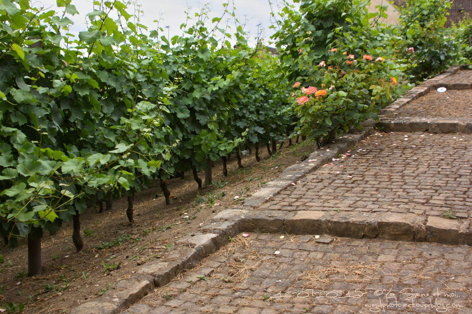 Du côté de la vigne..