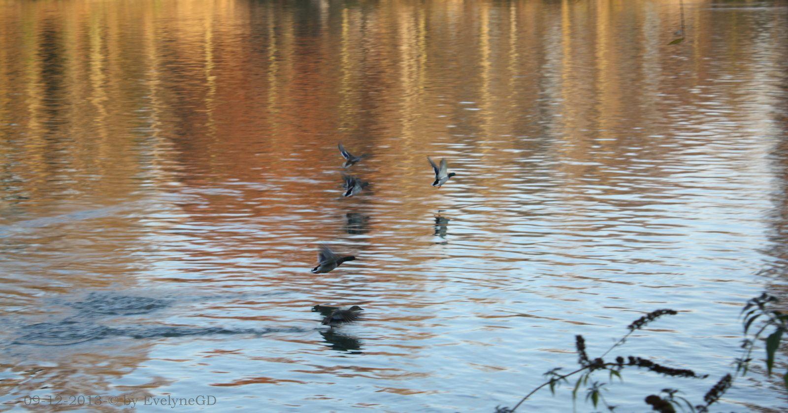 Sur la Seine... des reflets, des canards et des cygnes...