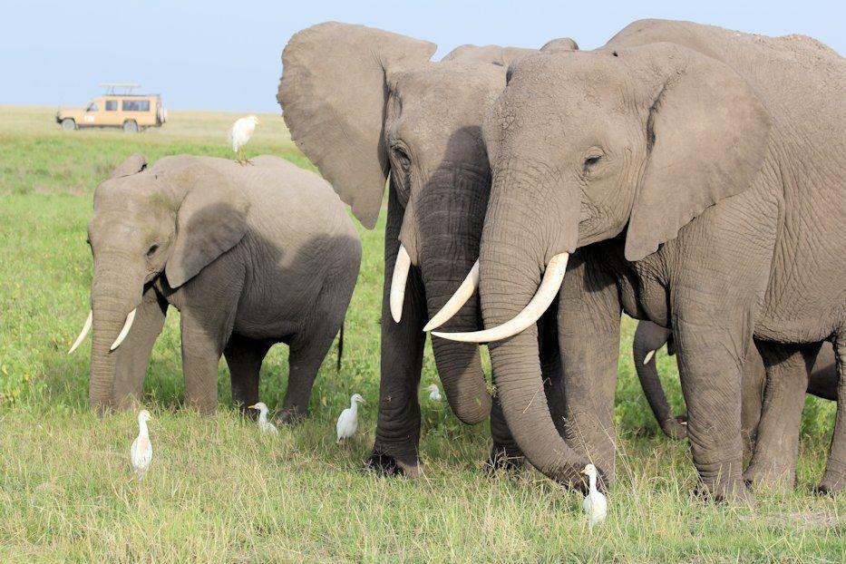A classic Amboseli shot: an elephant with Kilimanjaro background