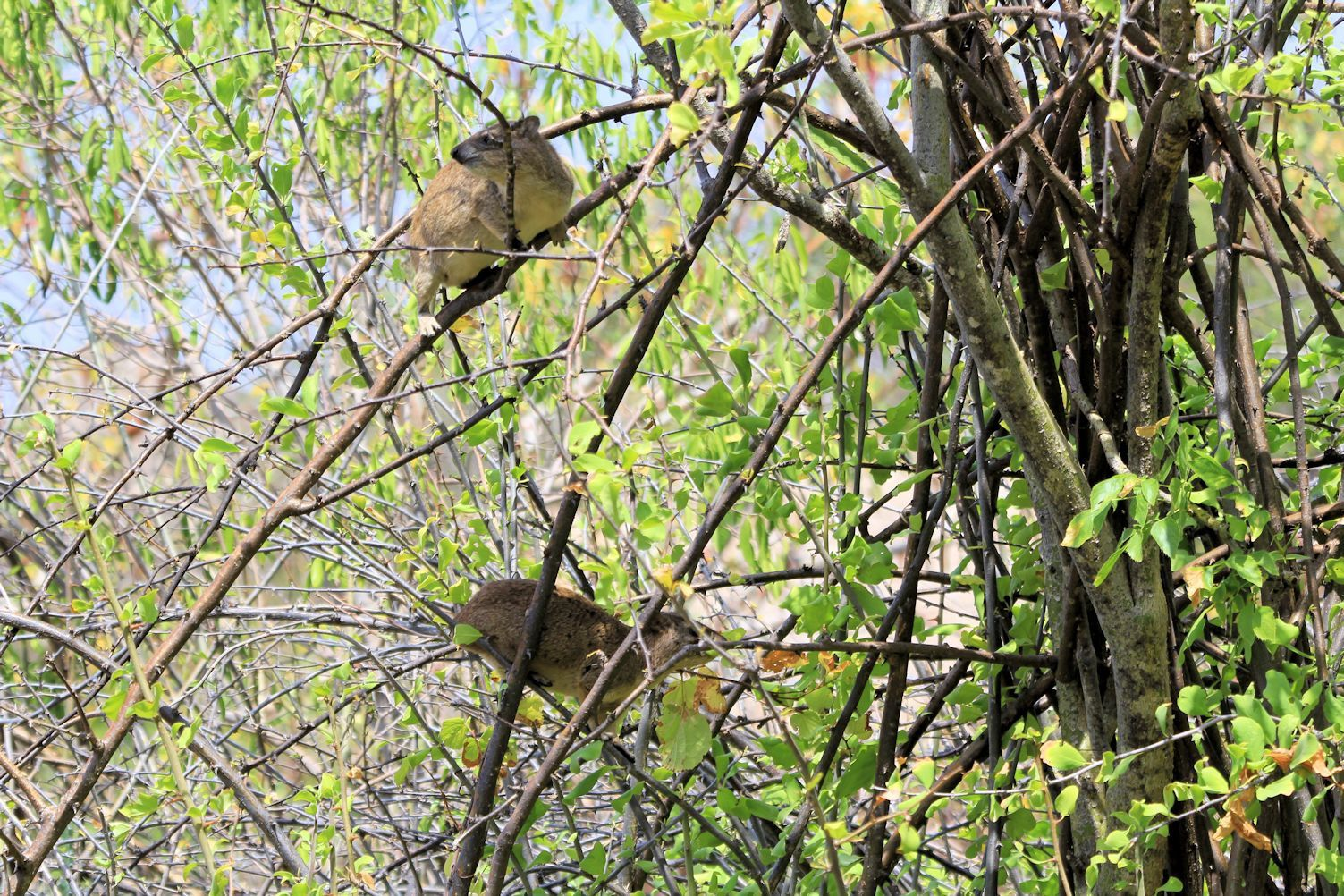 Hyraxes on a tree