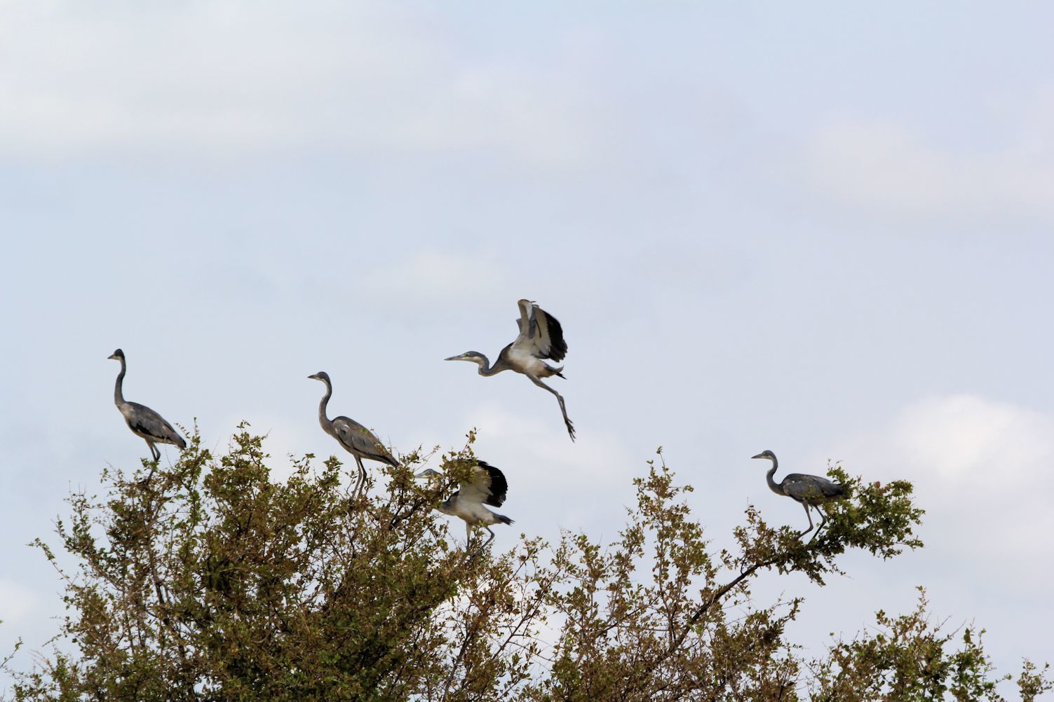 Herons on the trees