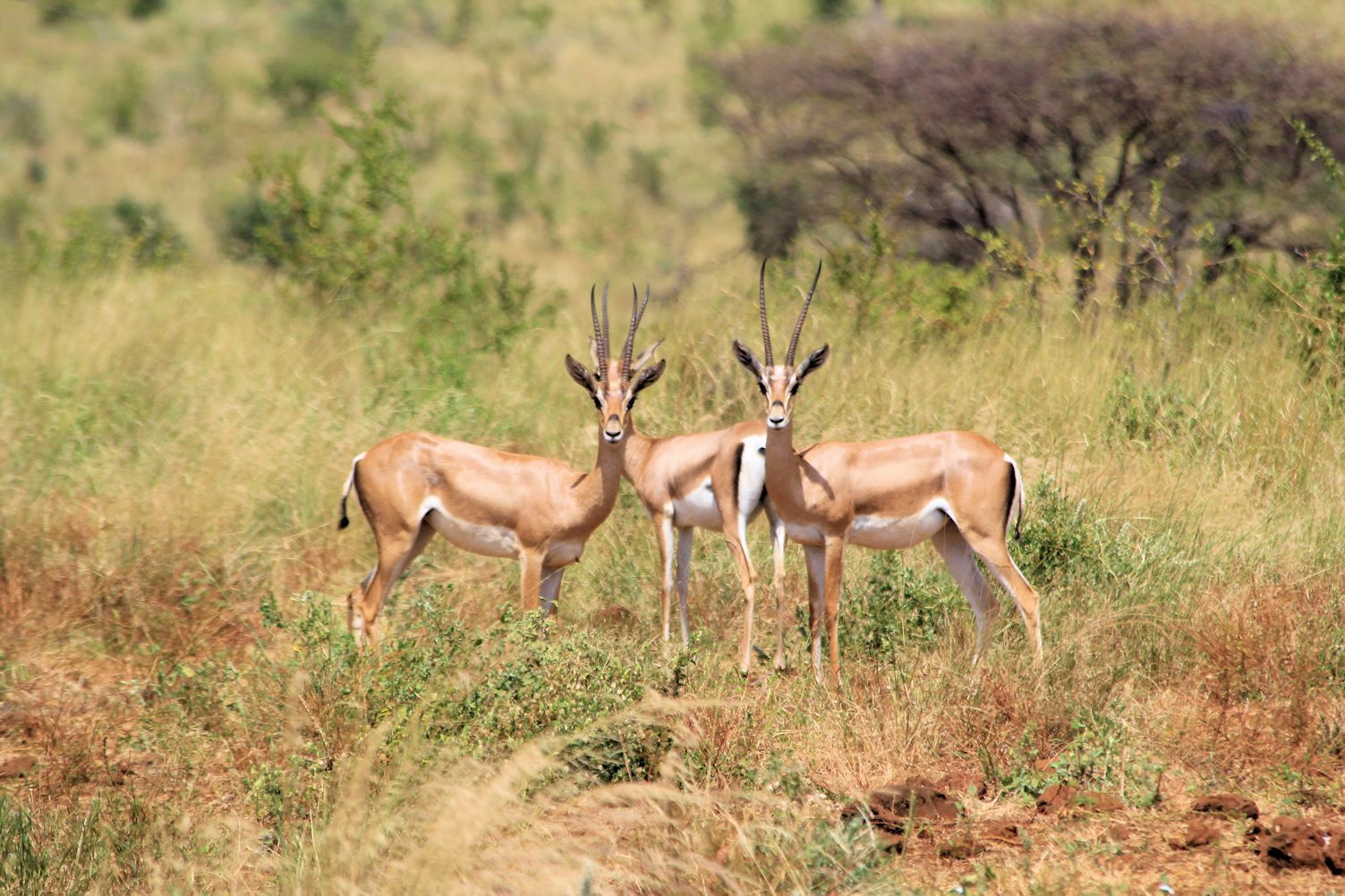 Beautiful Thomson's gazelles