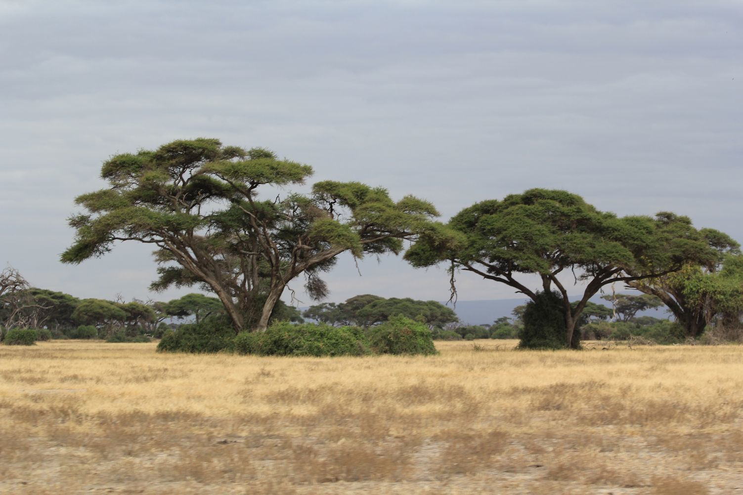 Amboseli National Park, Tortillis