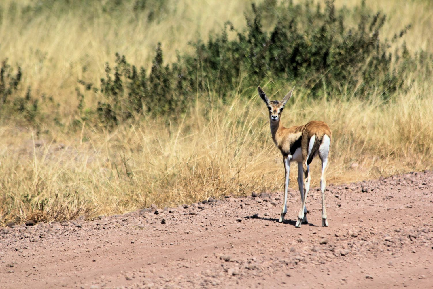 Grants gazelle in the two first pictures and Thomson's gazelles on the third one