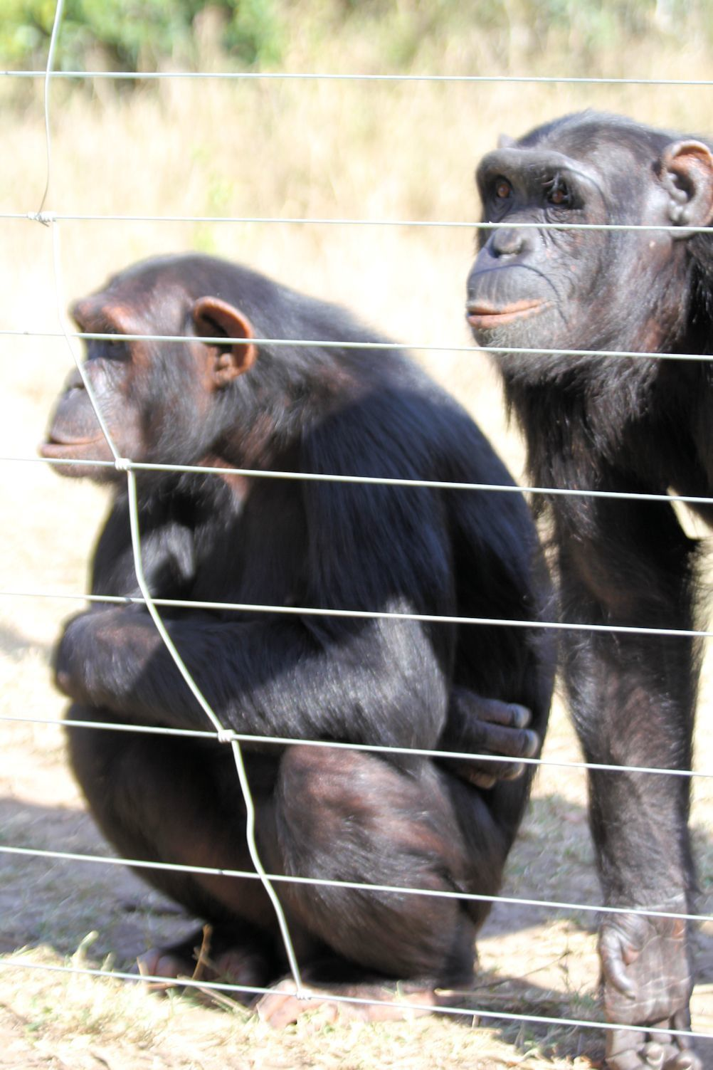 The fence is designed  to keep predators out as much as to keep the  chimps in.