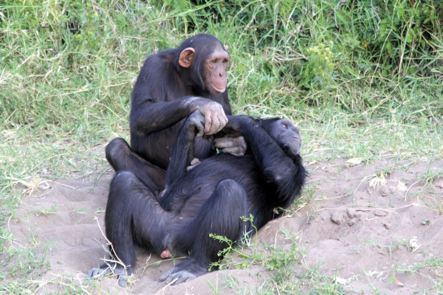 The chimps behave almost exactly as they would in the wild.