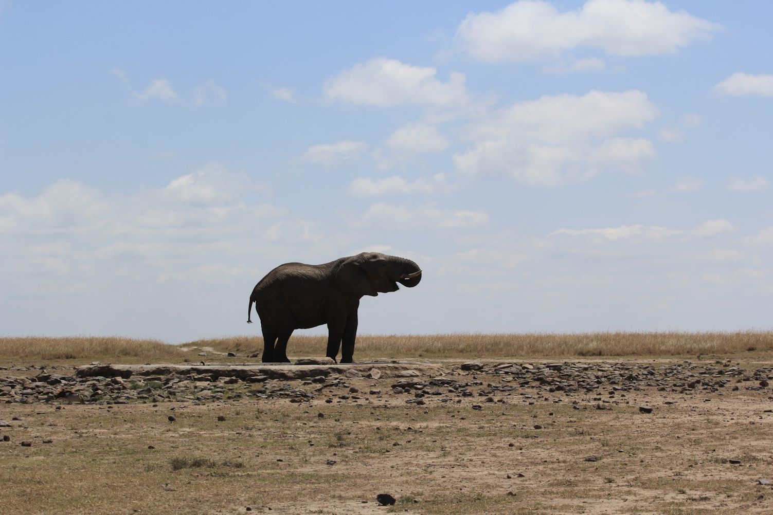 A lonely elephant.