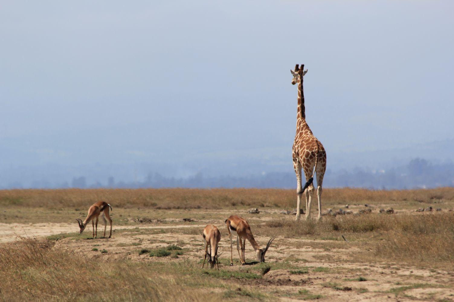 Giraffe and impalas