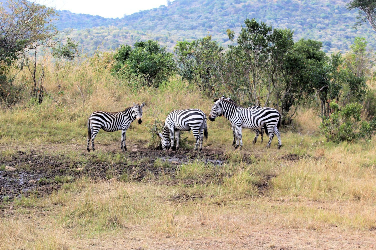 Even zebraz didn't look trivial in Maasai Mara
