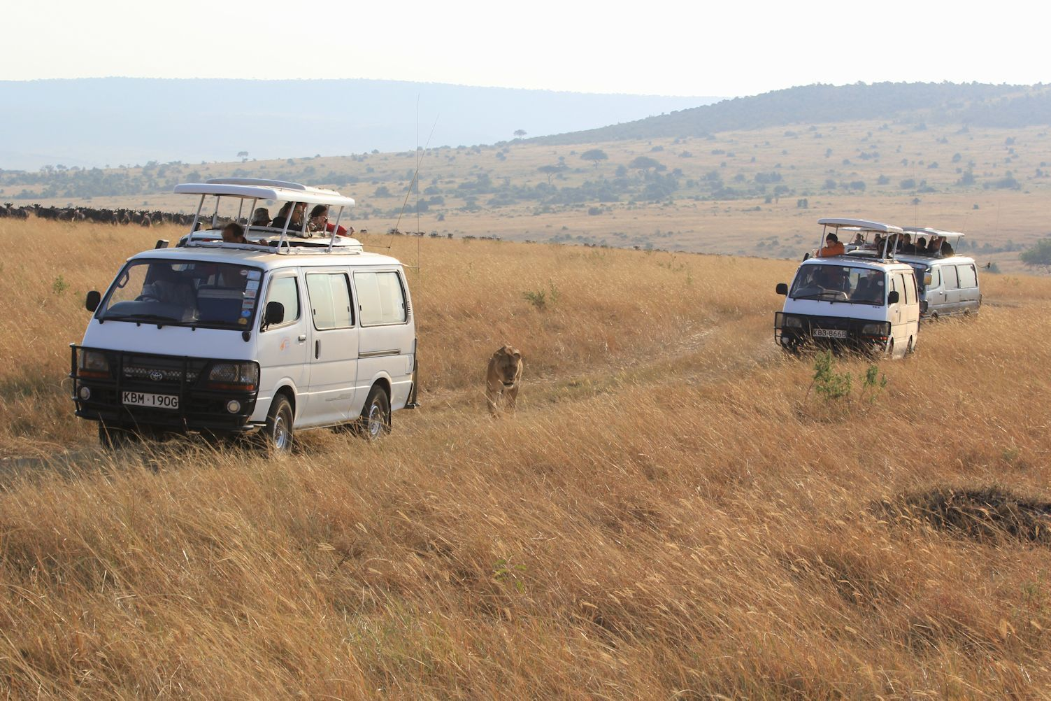 Minibuses follow the lioness