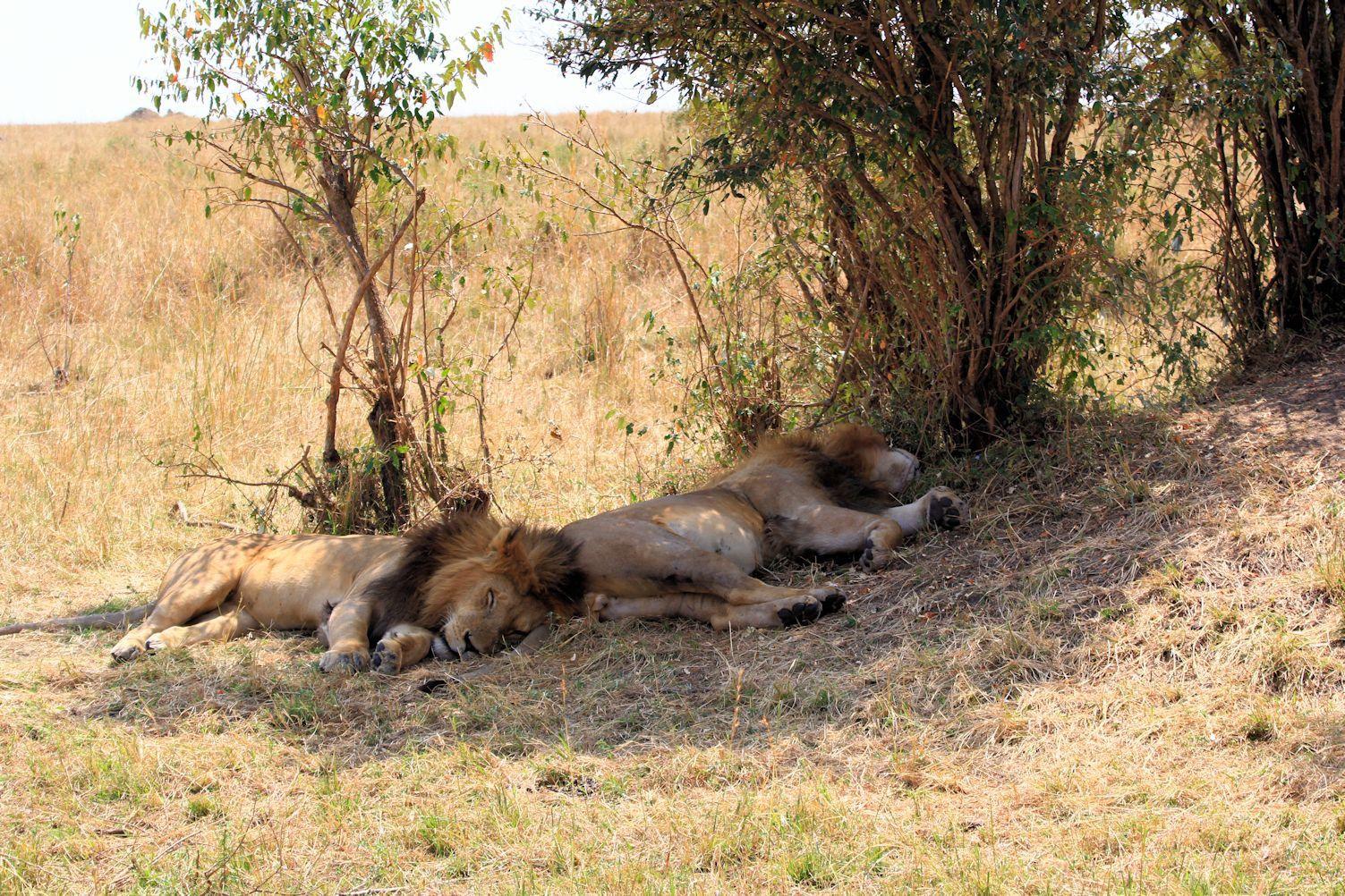 Maasai Mara Lions. Part 3
