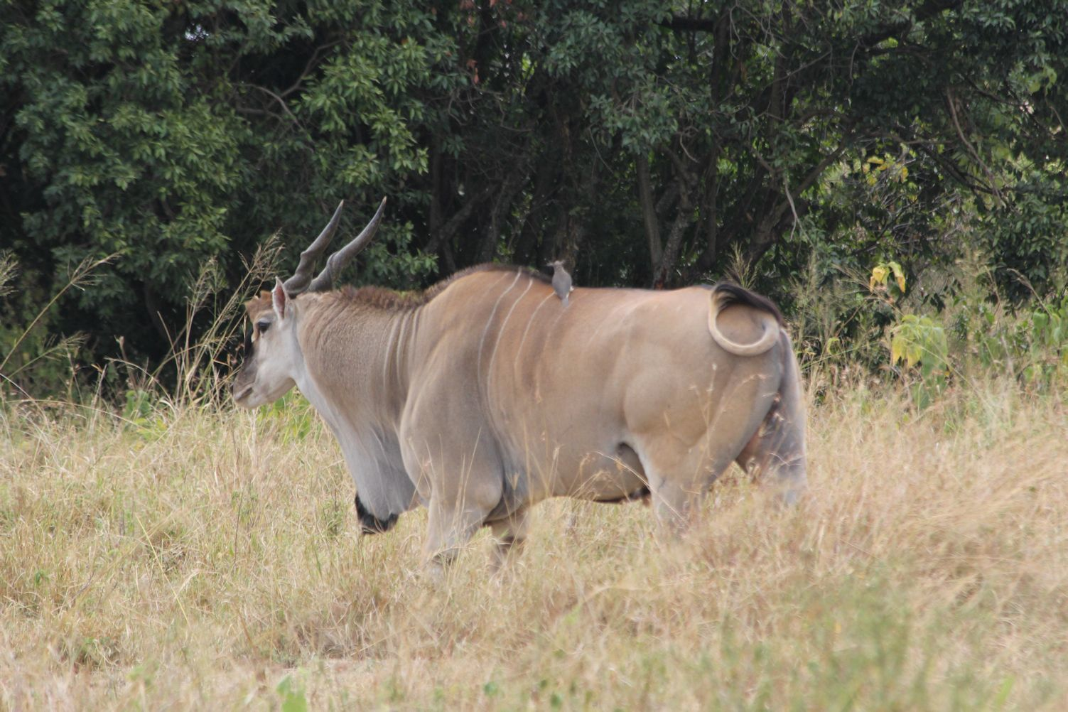 This massive antelope is called Eland