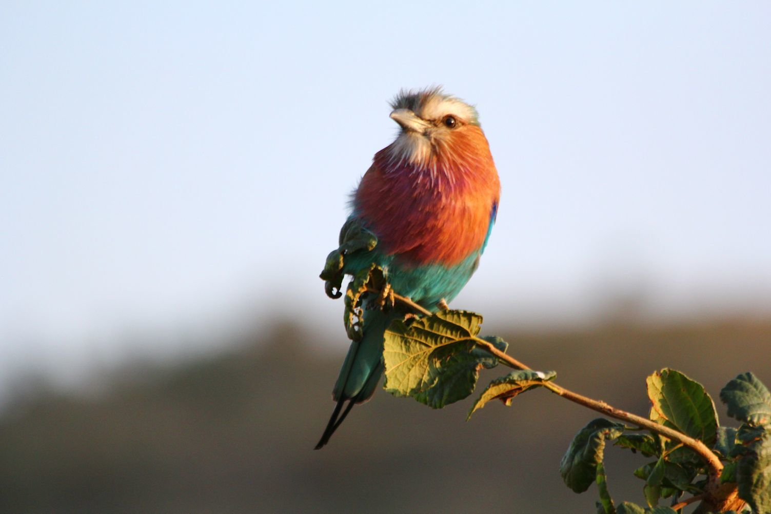 Lilac-breasted Roller - Kenya's national bird