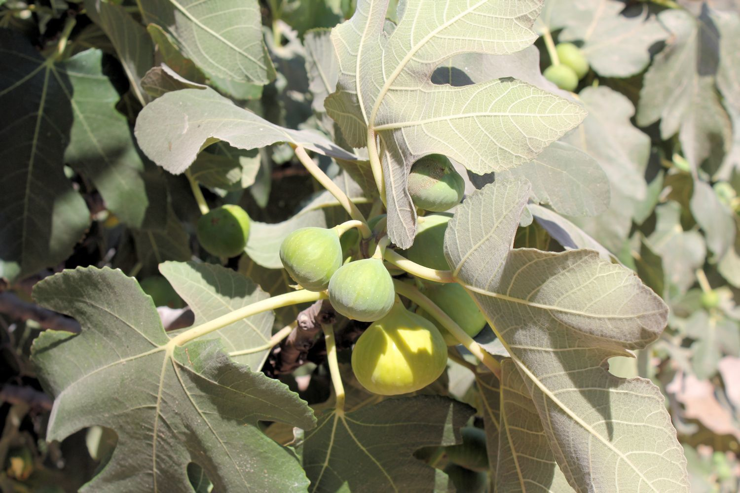 Leaves and green fruit on common fig tree