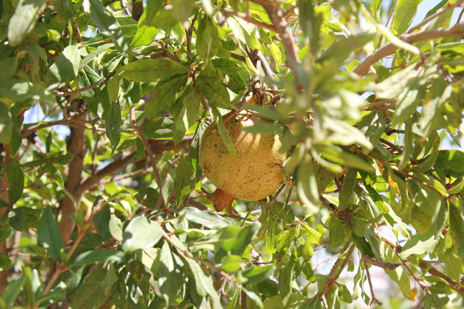 Unripened Pomegranate fruit