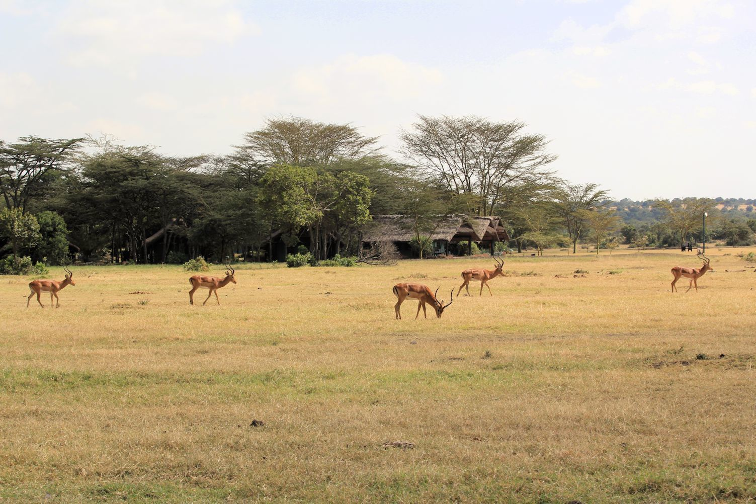 Impalas near the water hole