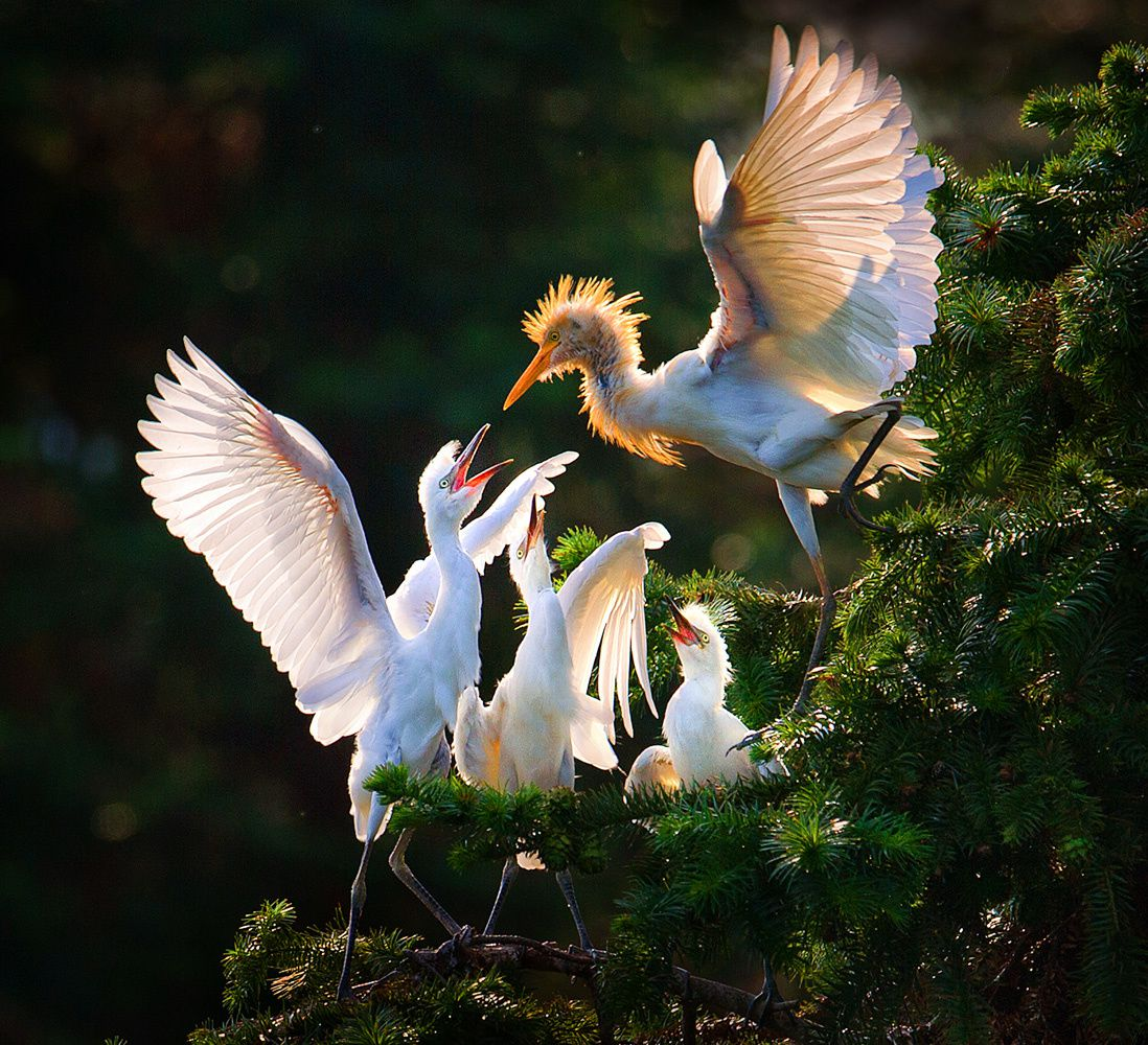 Nature & Environment Commended Jianhui Liao (China)  Nanchang, Jiangxi, China. Egret feeding its young.