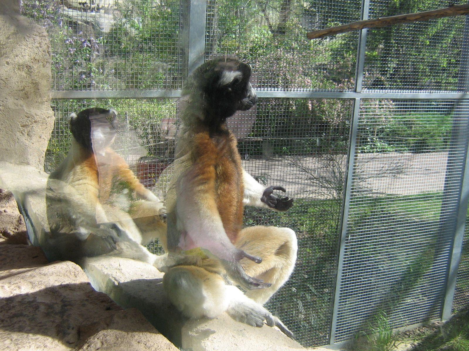 Trop drôle les lémuriens !
