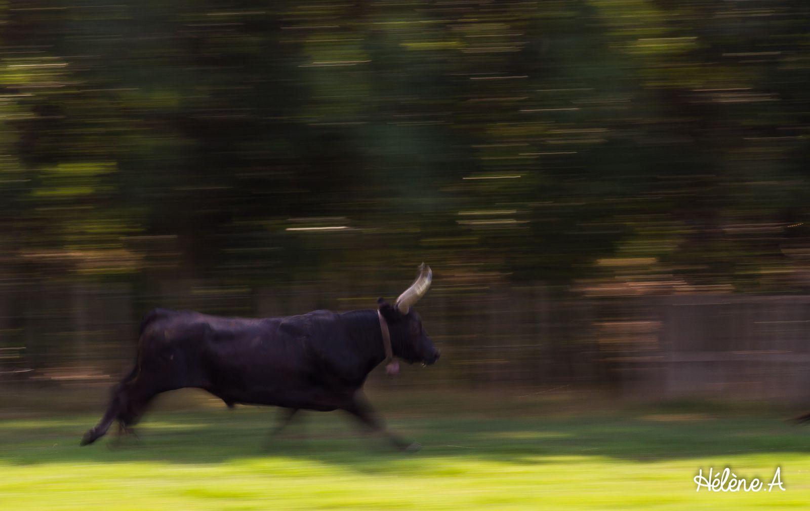 Déjeuner au pré, puis tri des taureaux que nous suivons jusqu'aux arènes