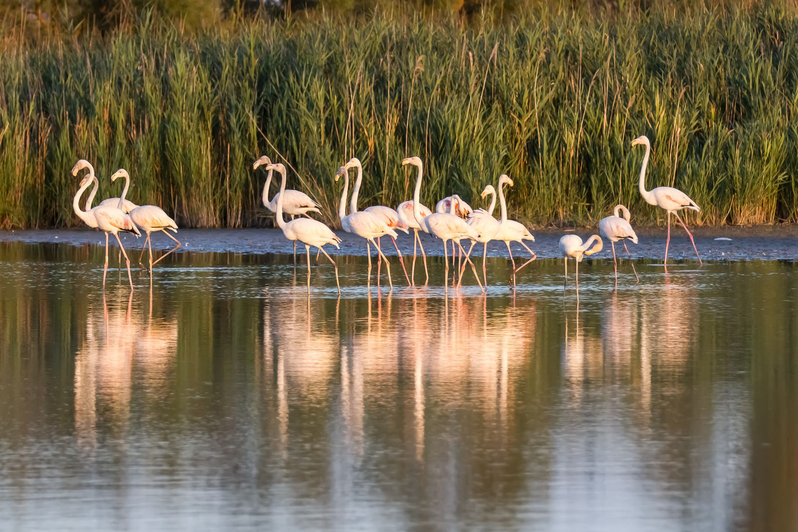 Flamands roses, stage photo avec Jonathan Lhoir à la réserve de Pont de Gau ( suite )