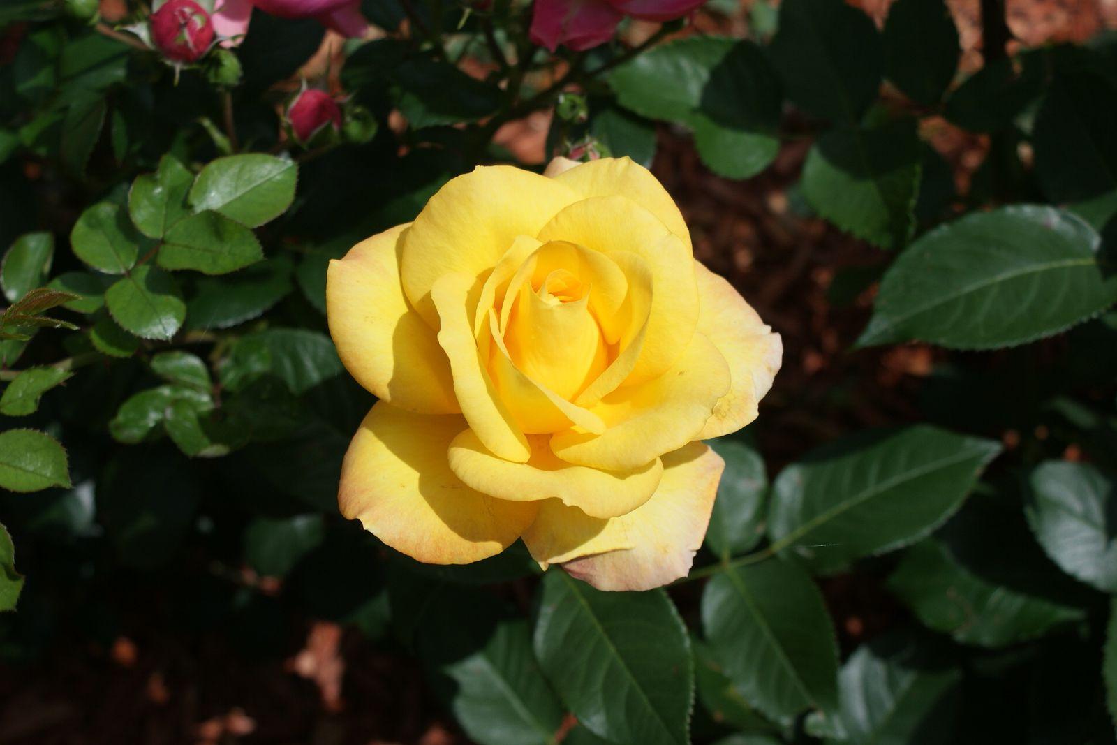 Roses en jaune