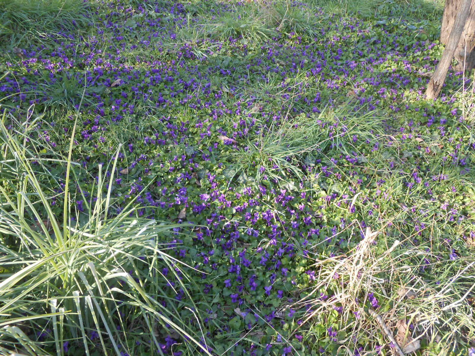 Violettes 2013