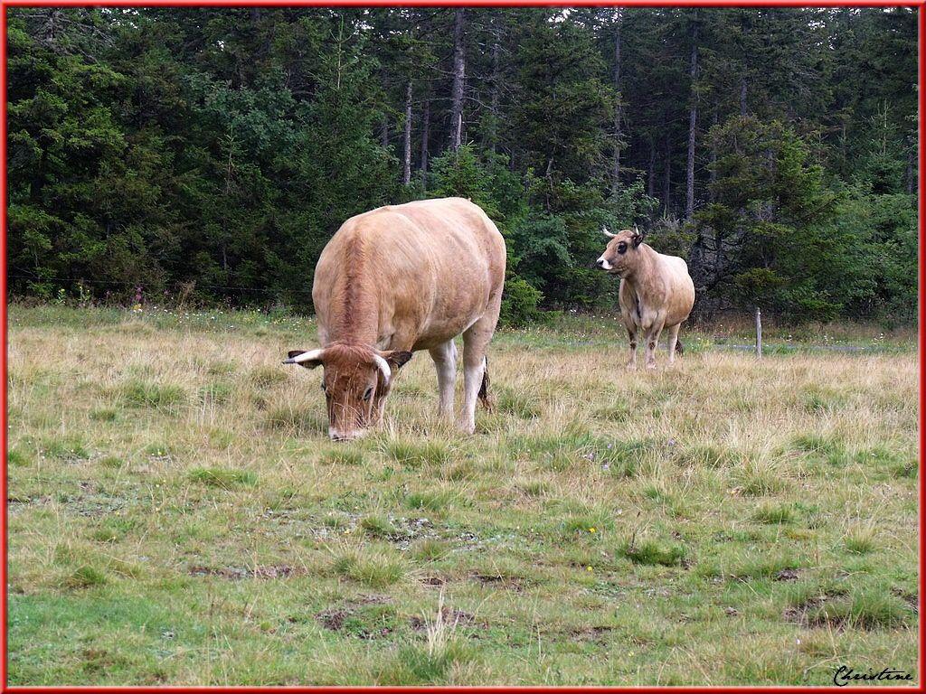 Au pied du Mont Mézenc, broutent des troupeaux de vaches de race Aubrac .