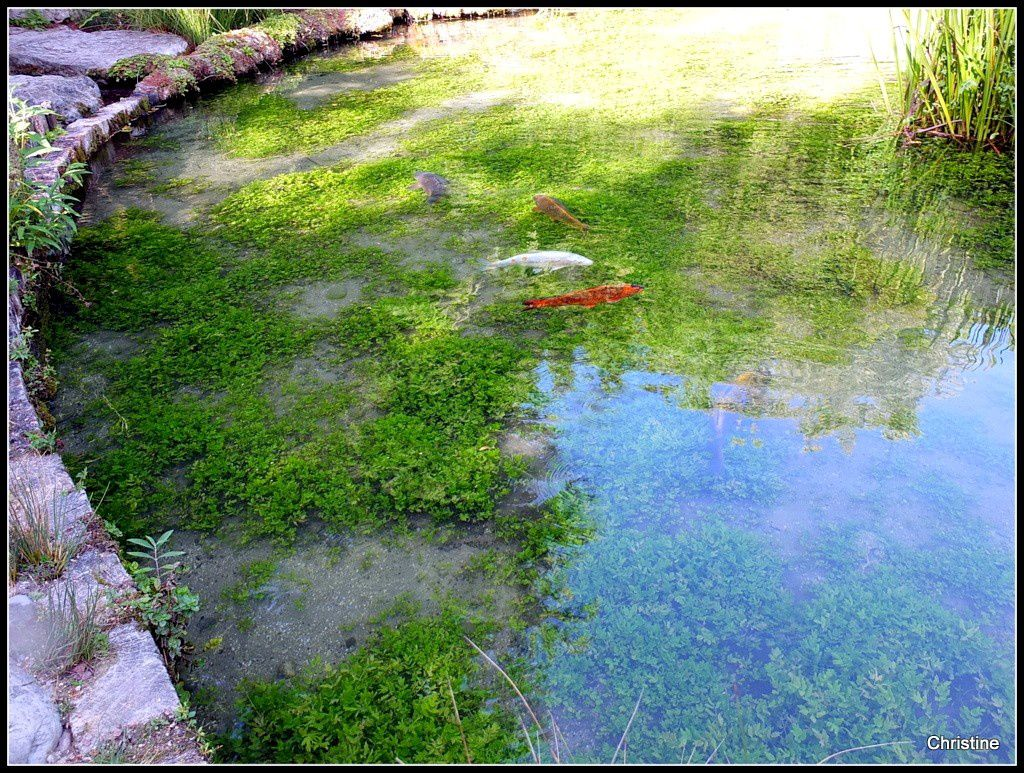 Poissons des bassins du jardin des 8 fontaines pétrifiantes à La Sône, en Isère .