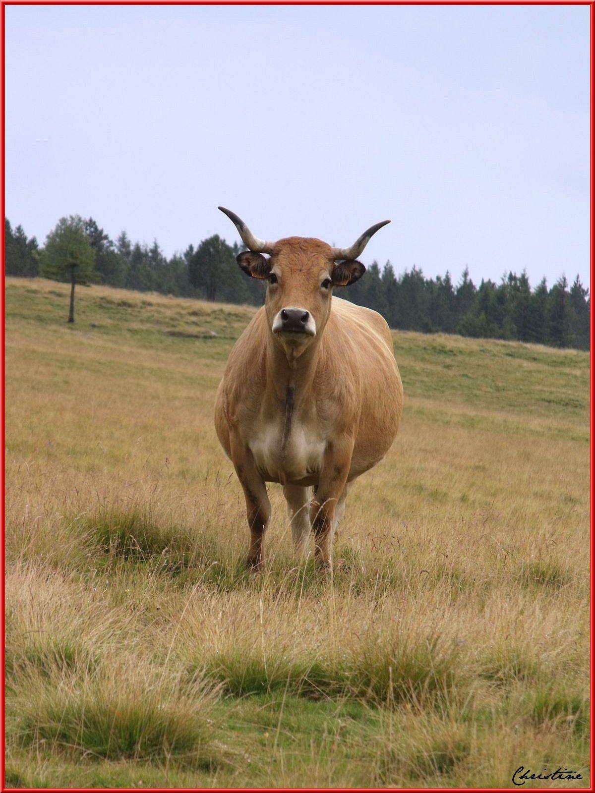 Troupeau de bovins de race Aubrac au pied du Mont Mezenc , Haute-Loire / Ardèche