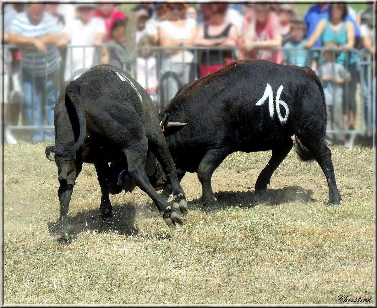 La vache d'Hérens (prononcez érein), est une race bovine suisse originaire du Valais.