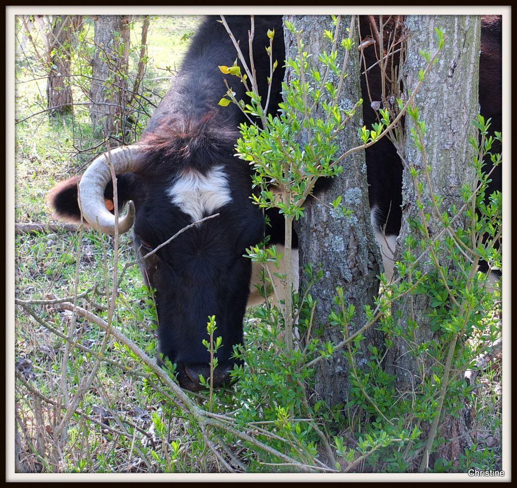 Vaches pie noir de la Réserve de la Platière , Rhône Alpes .