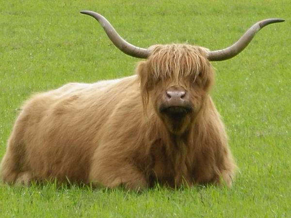 An hairy-coo from the Highlands!