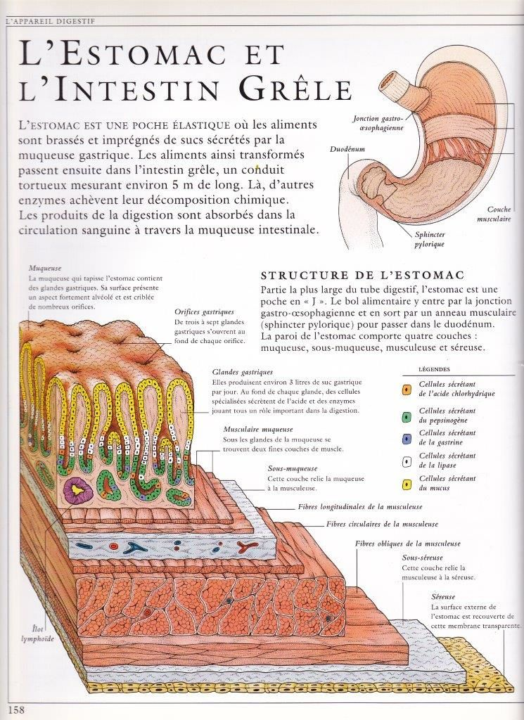 Les organes de la digestion. Comment ça fonctionne.LA BOUCHE, LE PHARYNX ET L'ŒSOPHAGE. L'ESTOMAC. L'INTESTIN GRELE