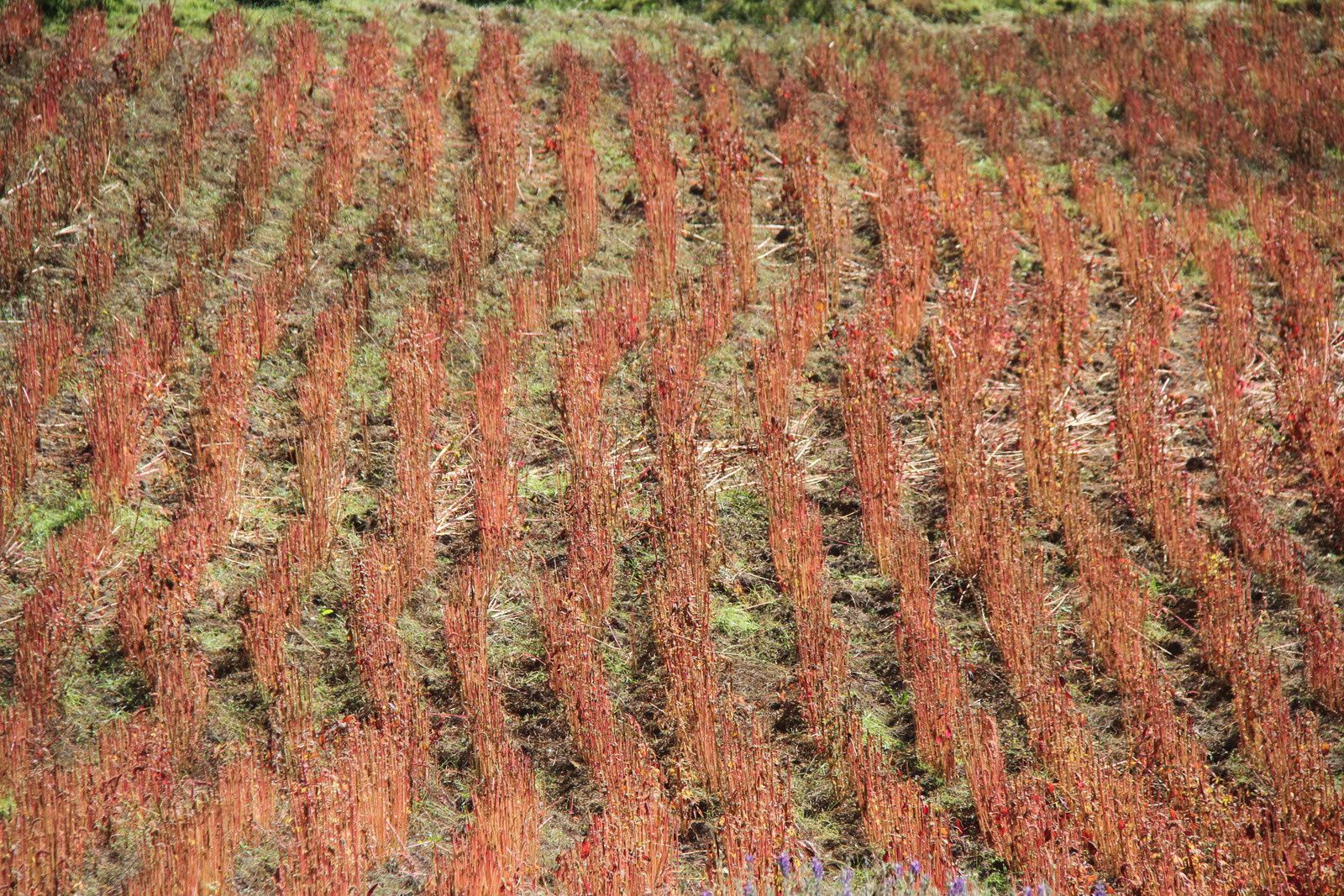 Début du Salkantay Trail: culture de quinoa, et sentier de moyenne montagne