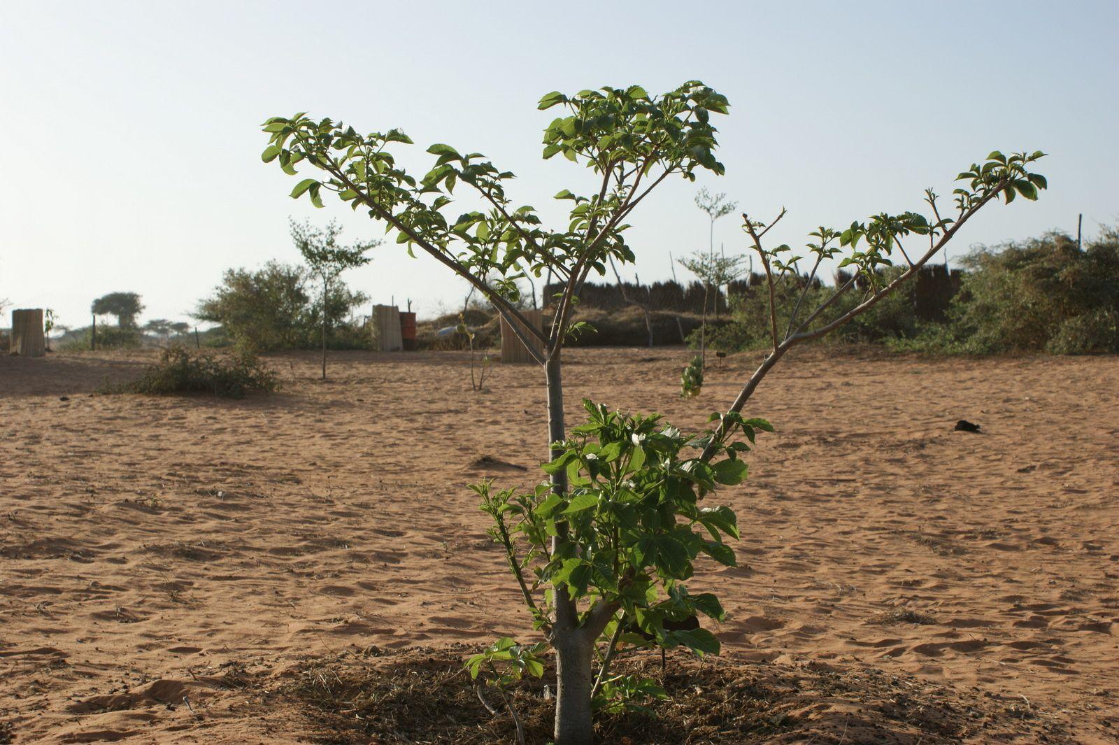 le baobab de Taaxira