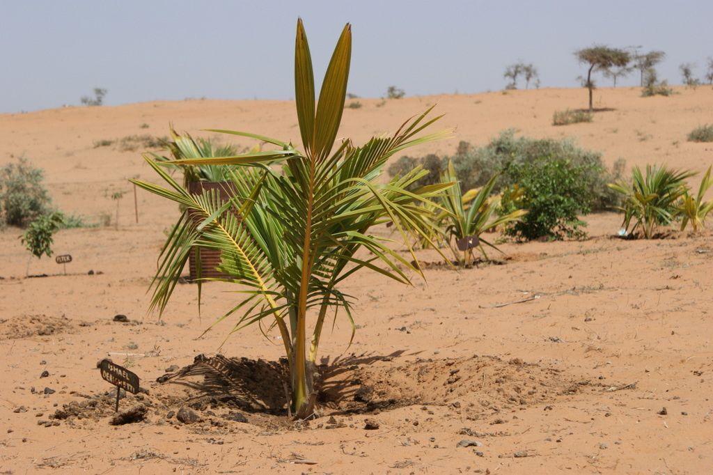 Le palmier planté pour Ismael Derighetti
