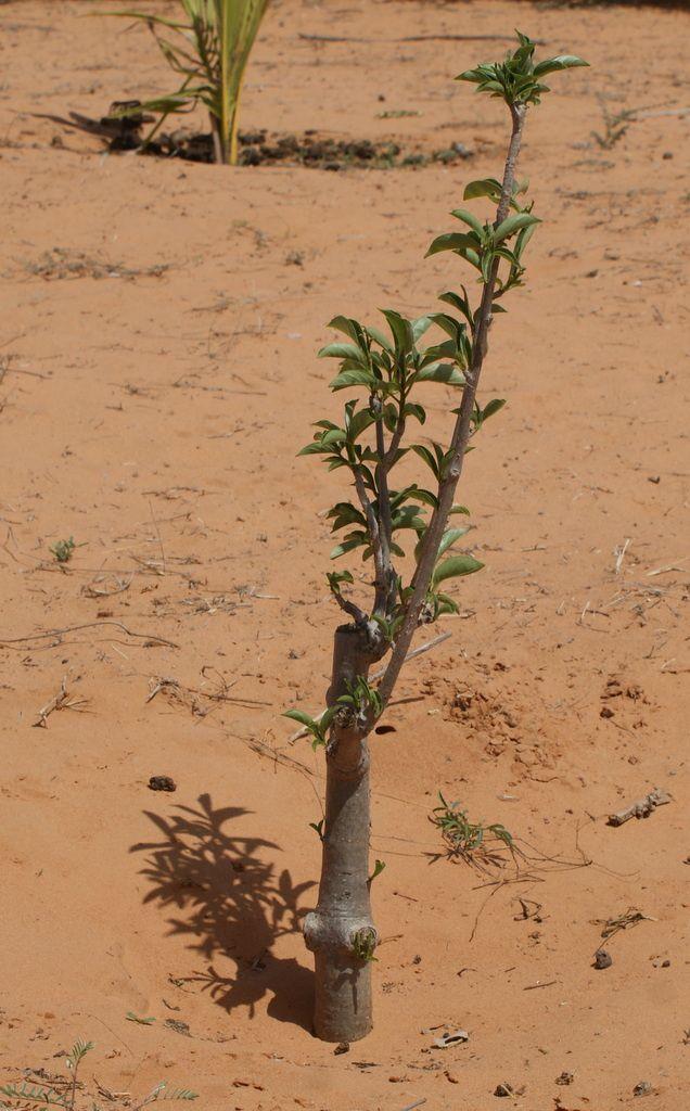 Baobab de Xadja Sylla