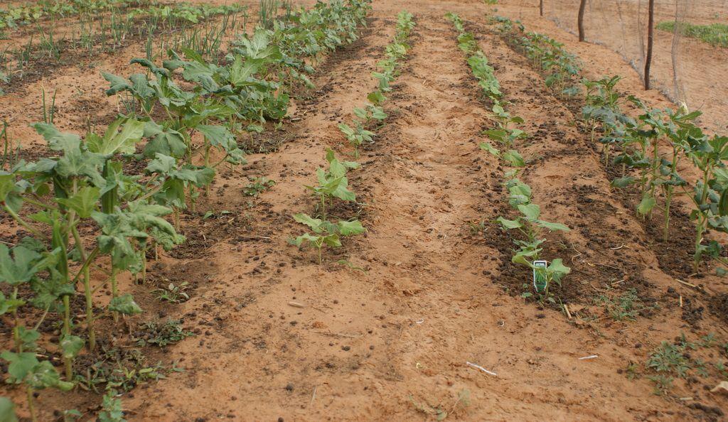 Jardin maraîcher à AFRIKA MANDELA RANCH